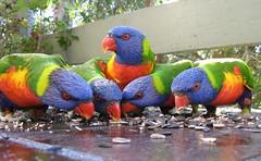rainbow lorikeets (cskk) Tags: bird rainbow sydney australian lorikeet parrot australia rainbowlorikeet trichoglossus haematodus wildlifeofaustralia colourlicious trichoglosseshaematodus