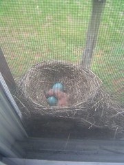 Two little robins have hatched