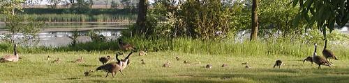 geese5-24-08townpondx