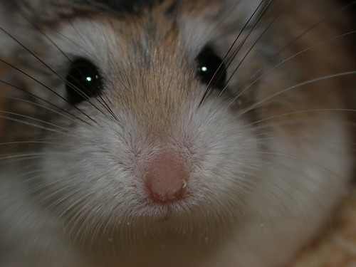 Big close-up! by roborovski hamsters.
