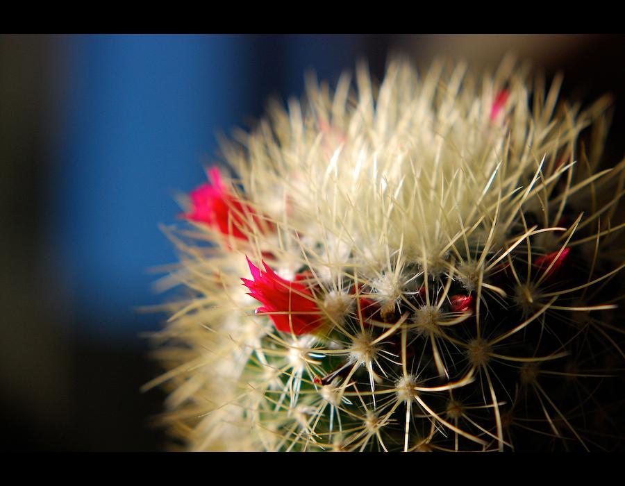 Macro de Cactos em Flor