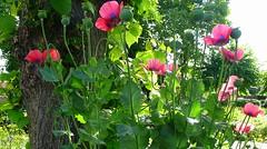 P1090085 (CANDYTANGERINE) Tags: wild flora pretty floweres
