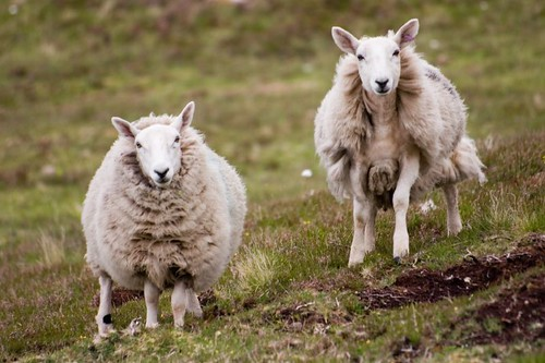 Sheep at Poulouriscaig