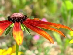 (Tölgyesi Kata) Tags: coneflower rudbeckia blackeyedsusan kúpvirág withcanonpowershota620