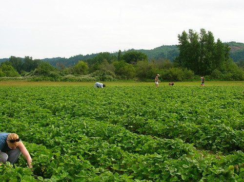 strawberry picking on Sauvie Island