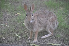local bunny