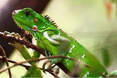 Green Iguana (Ian Lambert) Tags: tree climb lizard iguana margarita grren naturesfinest greeniguana beautifulmonsters panoramafotogrfico