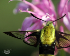 hummingbird hawk moth (jaki good miller) Tags: insect interestingness moth explore sphingidae exploreinterestingness jakigood hover hawkmoth top500 hummingbirdhawkmoth explorepage insectsandspiders explored explorepages