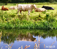 Alice through the looking glass (Jennie Anderson) Tags: uk summer england reflection water river cow colours cattle cows explore staffordshire armitage anawesomeshot july2008 amazingshots thatsbostin betterthangood theperfectphotographer jennieanderson pigawards