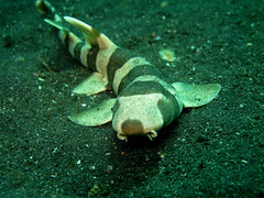 Bamboo Shark by Stephen Childs, on Flickr