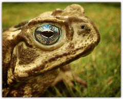 Fairytale writers had such ideas... (AnnuskA  - AnnA Theodora) Tags: closeup vintage toad fairytales flickrsbest 3000v120f specanimal mesmerizingeyes ireallyliketoadsalligatorsgeckosetceyesdetails mybrotherbroughtthetoadtomeasagifthowniceofhim hesaiditstotakephotosonly itookthephotosandthenguesswhathappeneditranawaynowitssomewhereinmygardenandicantfindit funnyandbold yellowcururutoad nowyoubetterwearglovesinyourgardenyikes