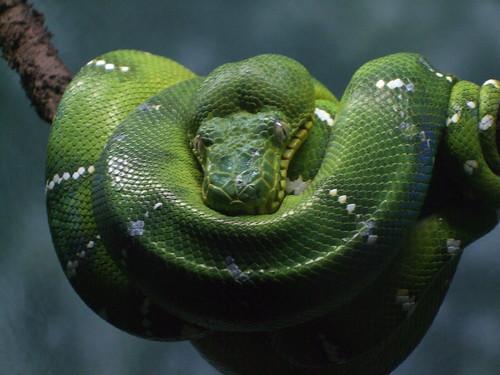 Emerald Boa Tree Snake