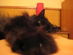 Gordi (anitakores) Tags: gatos zaragoza ojos gato animales mascotas gordi primerplano