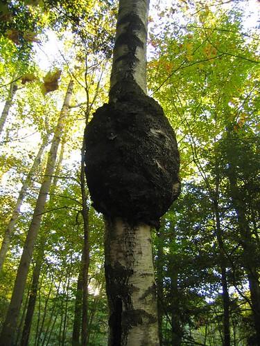 Tree tumor bubble