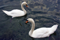 Il lago dei cigni (by storvandre)