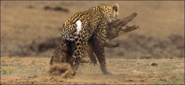 ealeopard118a