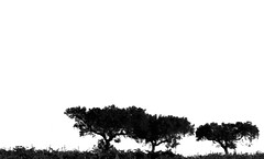Going south for the weekend.... (Loca....) Tags: trees bw portugal pb alentejo rvores weekbyweek locabandoca mdpd2008 ilustrarportugal srieouro my2008dailyphotodiary 1572008 mdpd200807