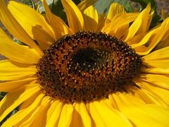 Pittilli (alfiererosso) Tags: flower macro nature yellow flor natura amarillo gelb giallo sunflower blume fiore girasole girasol sonnenblume