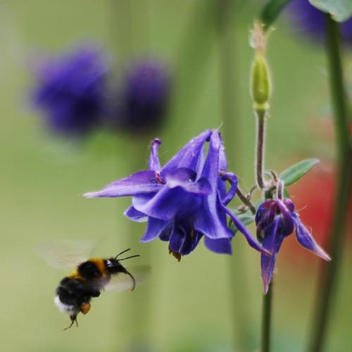 Pollinating Aquilegia vulgaris