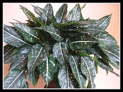 3.5-year old potted Aglaonema costatum 'F. Foxii'