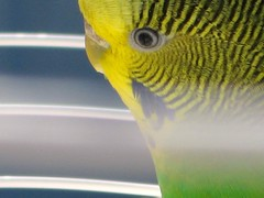 eyes (Lisa_Robertson) Tags: summer budgie