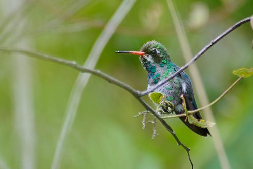 Glittering-bellied Emerald by sjdavies1969.