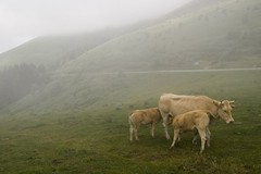 Cows in the Fog (Fr Antunes) Tags: france explore pirineus coldaspin hautespyrenees
