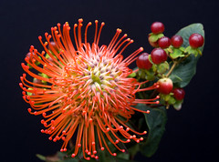 Pin Cushion Protea Flower and Berries (Theresa Elvin) Tags: orange flower macro closeup blackbackground exotic hypericum protea pincushionprotea primerplano golddragon macrolife