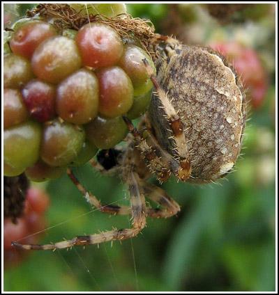 Spider copy