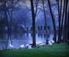 Between the mist (lynne_b) Tags: blue trees light mist lake water geese illinois pond haze estate cloudy ducks grounds vernonhills cuneomansion