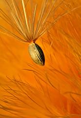 (h)airy (Thomas Hartmann) Tags: macro nature thistle seedpod bigmomma mywinners colorphotoaward youvsthebest platinumheartaward goldenvisions creattivit bestcapturesaoi thepinnaclehof