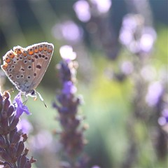 of butterfly and lavenders... (pipitdapo) Tags: summer france macro nature butterfly lavender lila explore v marillion lagarde imago2007 imagoism