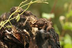 genus: Brookesia. Antsingy Leaf Chameleon - Exotic Reserve Peyrieras, Madagascar