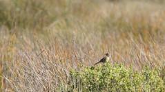 Canastero del sur (Asthenes anthoides) (pablo_caceres_c) Tags: fbwnewbird fbwadded asthenes asthenesanthoides australcanastero