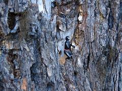 Finally There (PinCheck) Tags: tree climb mounthood minja