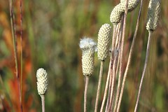 thimbleweed gone to seed