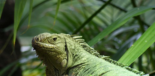 Iguanidae Leguaan Iguanidae Lizard 3