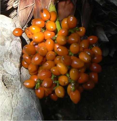 frutos del palmito