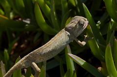 Camaleo (Chamaeleo chamaeleon) (Emerging Birder) Tags: nature animal d50 nikon reptile natureza chameleon camaleo chamaeleochamaeleon