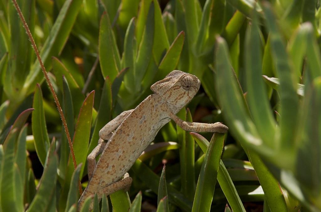 Camaleão (Chamaeleo chamaeleon)