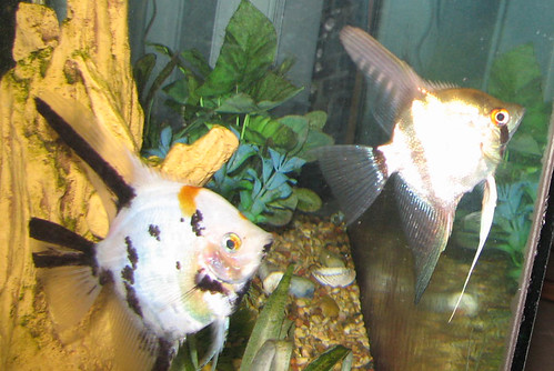 Angelfish pair to a good home