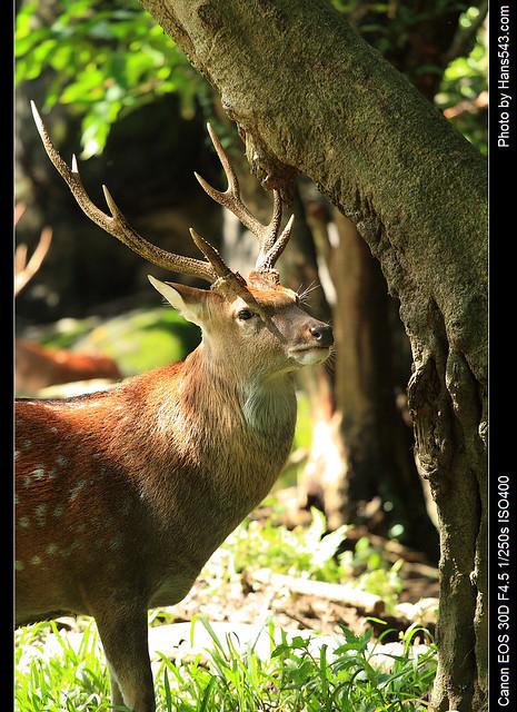 梅花鹿_Formasan Sika Deer_06