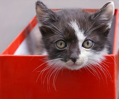 Kitten (Dragan*) Tags: christmas xmas family red portrait pet baby house black hot cute love beautiful beauty smile face look animal youth cat wow fur nose blackwhite cool eyes kitten feline chat warm pretty little sweet box expression amor serbia innocent young adorable kitty cutie best whiskers container indoors dolce precious tricolor getty meow rest curious sweetheart belgrade