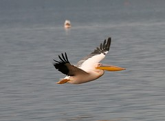 Great White Pelican (Pelicans onocrotalus roseus) (Saran Vaid) Tags: africa wild portrait white lake game bird nature beautiful beauty animal pose fly flying beek kenya wildlife flight feathers feather reserve sigma pelican safari elegant creature habitat panning graceful nakuru quill spotting animalkingdom bornfree sodalake sighting kenyasafari riftvalley panned naturesfinest lakenakuru greatwhitepelican roseus onocrotalus lakenakurunationalpark alkalinelake mywinners canoneos400d sigma170500mm ourplanet livingfree slbflying lakenakurunationalreserve pelicansonocrotalusroseus sigma170500mmf563dgapo
