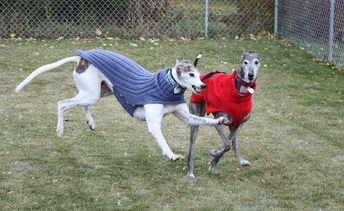 Knitting Patterns For Greyhound Sweaters : Ravelry: Side Button Greyhound Sweater pattern by Terri ...