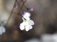 Lobelia enana de los yesos (Lobelia gypsophila)