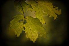 Autumn (manganite) Tags: autumn trees plants green fall nature colors leaves yellow sepia digital germany dark geotagged maple nikon colorful europe bonn dof seasons bokeh tl branches d200 nikkor dslr toned rhine vignette rheinaue northrhinewestphalia 18200mmf3556 utatafeature manganite nikonstunninggallery date:year=2007 repost1 date:day=1 date:month=november geo:lat=50709728 geo:lon=7141746 format:ratio=32 repost2