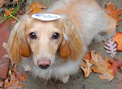 Honey on election day (Doxieone) Tags: orange dog cute english fall leaves sticker colorful long president politics cream dachshund honey blonde vote 2008 haired obama mccain coll doxie longhaired honeydog englishcream halloweenfall2008set