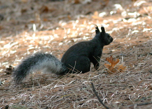 Aberts Squirrel 20081114