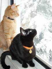 SDC10289 (ahough404) Tags: cats snow blackcat orangecat